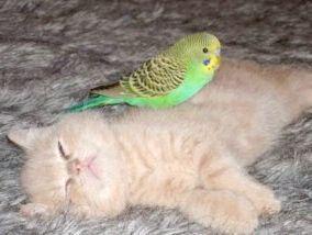 хвилясті папуги підлогу