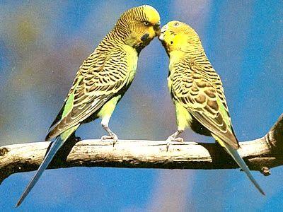 хвилясті папуги чехи