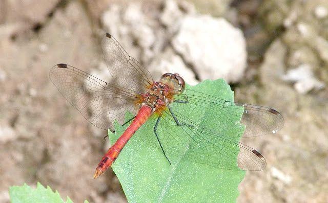 комаха бабка