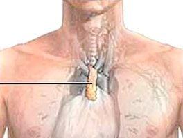 Вилочкова залоза та її функції в організмі людини