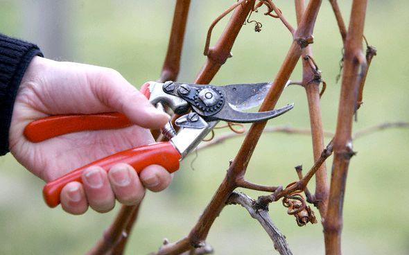 Виноград. Догляд навесні: обрізка, підживлення, обробка від шкідників
