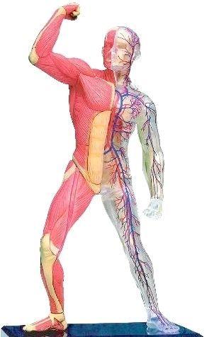 схема розташування внутрішніх органів людини