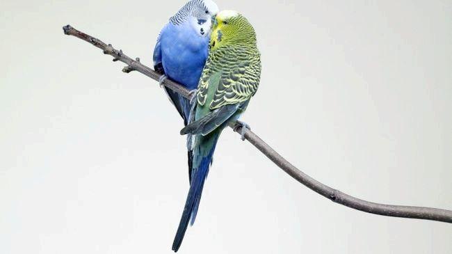 Хвилястий папуга: розмноження в домашніх умовах