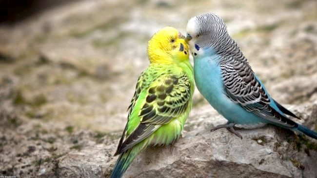розведення хвилястих папуг в домашніх умовах