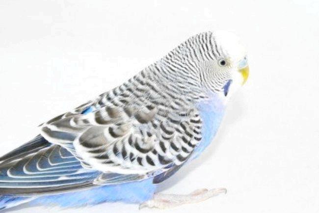 скільки коштує хвилястий папуга