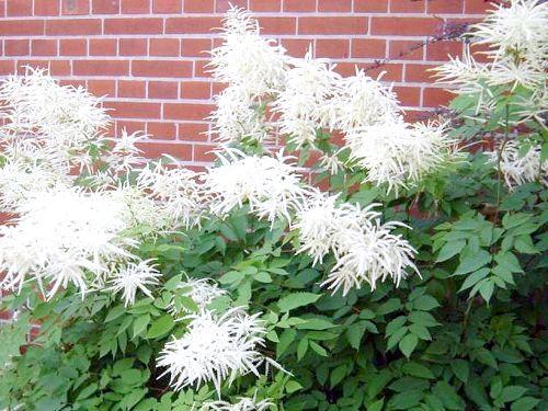 Волжанка - рослина сімейства розоцвітих