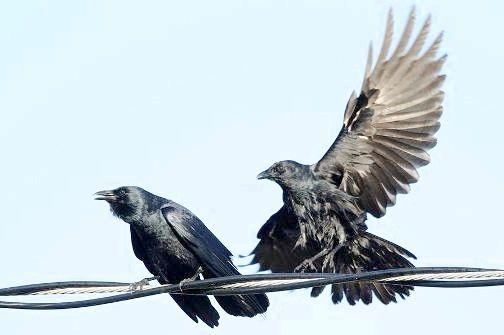 Ворон: скільки років живе цей птах