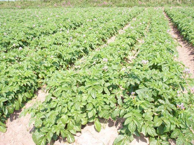 вирощування картоплі з насіння