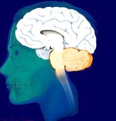 задній мозок