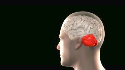 передній і задній мозок