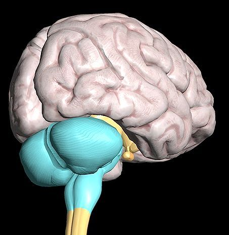 частини заднього мозку
