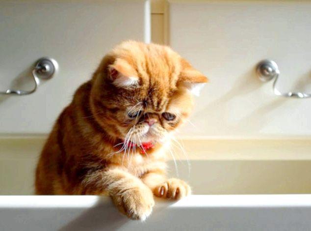 запори у кішок