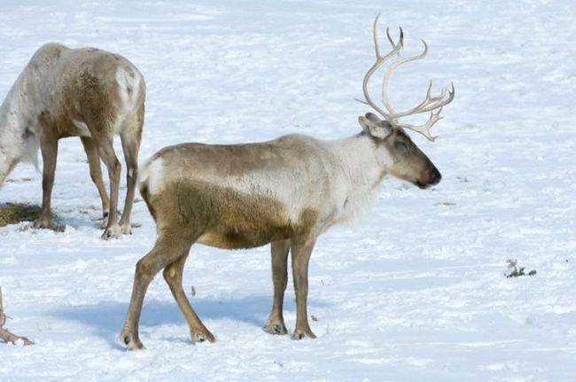 тварини в тундрі Росії
