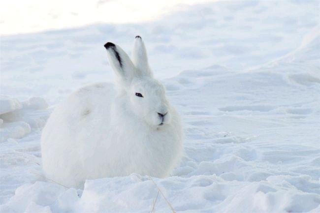 інформація про тварин в тундрі