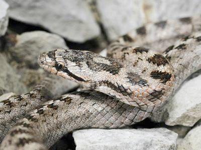 Змія мідянка - зникаюча мешканка лісів і степів