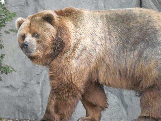 найбільший у світі ведмідь