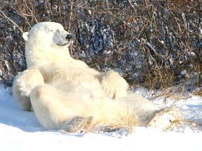 найбільший ведмідь у світі