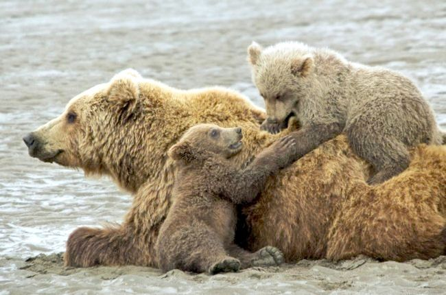 який ведмідь найбільший в світі