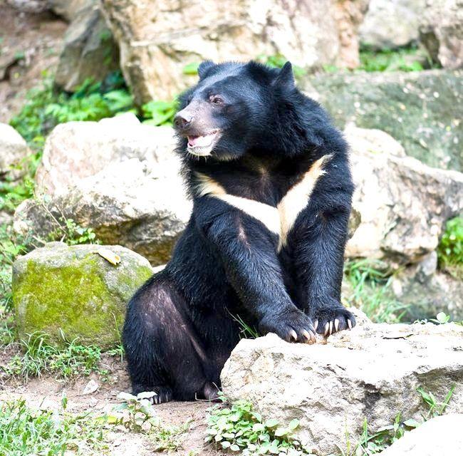 який ведмідь найбільший у світі