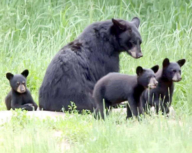 найбільші ведмеді за розміром і вагою